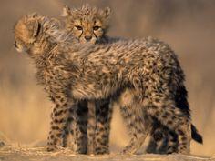 Cheetah, (Acinonyx Jubatus), Duesternbrook Private Game Reserve, Windhoek, Namibia