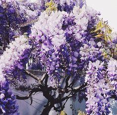 #wisteria #tree #spring