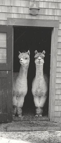 Dillon has alpacas on his farm and Ella is learning to spin their fleece. Alpacas, Farm Animals, Animals And Pets, Funny Animals, Cute Animals, Funny Pets, Llama Images, Images Of Llamas, Funny Llama Pictures