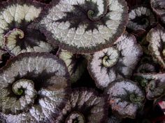Begonia Rex 'Escargot' Begonia, Fruit, Plants, Garden, Flowers, Garten, Planters, Gardening, Outdoor
