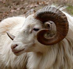 Ram, Head, Horn, Fauna, Goat, Mammal, Mountain