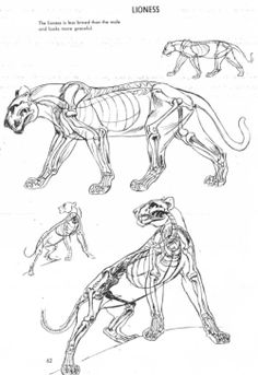 drawing Illustration art reference art tutorial character design reference anatomy for artists animal anatomy reference The Art of Animal Drawing Ken Hultgren big cat reference animal anatomy for artists