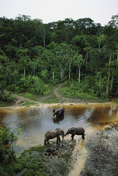Three male forest elephants quench their thirst in the Modoubou River, Central African Republic
