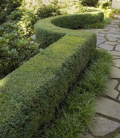 What to plant with it. If you've shaped your boxwood hedge to have a crisp, manicured edge,  have some softer forms adjacent to it for contrast, like mounds of mondo grass. If the boxwood marks a line between lawn and woodland, it is a nice contrast to woodland shrubs with natural undulating silhouettes like rhododendrons.    If you are framing ornamental trees, dogwoods and redbuds look wonderful with boxwood. Other evergreens create a wonderfully rich, year-round texture palette w