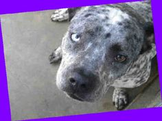 RED ALERTED FOR TIME/SPACE****NEEDS OUT****KANO #A1456576 - NEUTERED male, blue merle and white Australian Cattle Dog mix, 3 years & 73 lbs. #KANO is a super sweet boy who is getting restless & yearns to be out on walks, play and give lots of kisses. Kano is a very handsome boy. He would make a wonderful companion and be great with someone who like to take long walks or hike. At the shelter since Feb 18. East Valley ACC (888) 452-7381.  VIDEO  https://www.youtube.com/watch?v=FaUOhsmBn0g