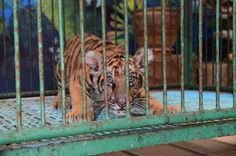 Please help end their suffering. Support vulnerable animals with a monthly donation. Only your vital ongoing support can help stop this. Thailand Tiger, Tiger Temple, Tiger Species, World Animal Protection, Save The Tiger, Wildlife Day, Baby Tigers, Tourism Industry, Siberian Tiger