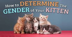 Determining the gender of a cat or a tiny kitten is actually easier than many people think. http://healthypets.mercola.com/sites/healthypets/archive/2014/08/30/cat-gender.aspx