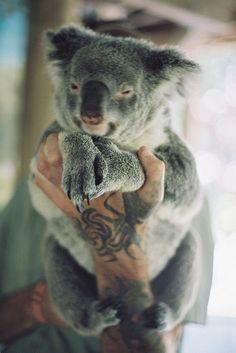 A tired koala bear being held in human hands. Koala Marsupial, Baby Animals, Cute Animals, Animal Photography, Animal Kingdom, Animals Beautiful, Dachshund, Animal Pictures, Fur Babies