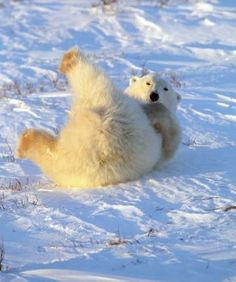 Morning yoga. Polar bears clean their fur by rolling in the snow.