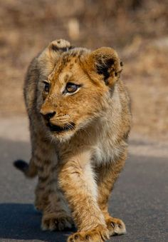 """""""Lion Cub"""" by Wayne Marinovich...I'm super lucky that I got to hold one when I was a kid."""