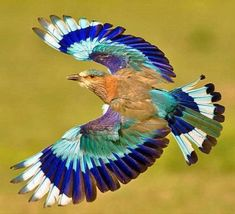 Indian Roller bird (440 pieces)