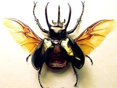 Chalcosoma atlas Flying | Real Butterfly Gifts Framed Butterflies and Insect Displays
