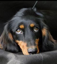 Beauty ❤❤❤ #dachshund #teckel