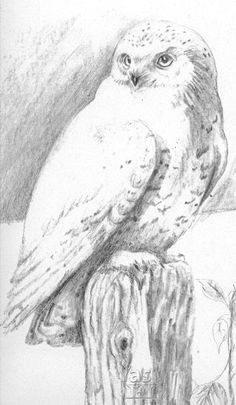 Snowy Owl on Post, 11 x 17, pencil on linen