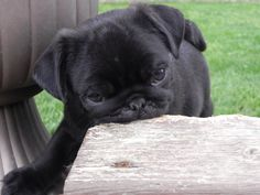 My Cooper Black Pug, Pugs, French Bulldog, Animals, Animais, Animales, Animaux, Pug, Bulldog Frances