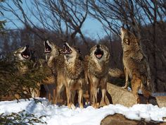 family that howls together stays together