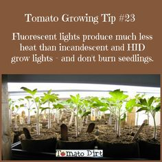 fluorescent grow lights to start seeds, grow tomatoes indoors Tomato Growing Tip when growing tomatoes indoors using tomato grow lights with Tomato Dirt.Tomato Growing Tip when growing tomatoes indoors using tomato grow lights with Tomato Dirt. Growing Tomatoes Indoors, Tips For Growing Tomatoes, Types Of Tomatoes, Growing Tomato Plants, Tomato Seedlings, Growing Tomatoes In Containers, Growing Vegetables, Grow Tomatoes, Cherry Tomatoes