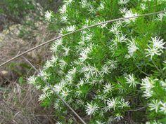 Flowering Shrubs, Plants, Flowering Bushes, Plant, Planets