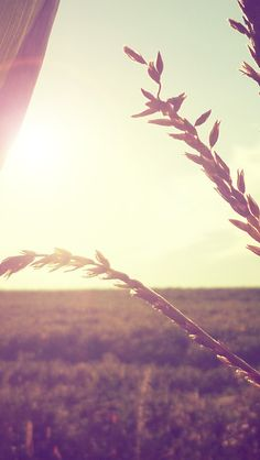 Wheat Branch In Sunlight #iPhone #5s #Wallpaper