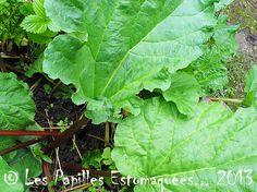 **Que faire avec la rhubarbe **est une plante herbacée vivace qui pousse à l'état cultivé ou sauvage dont seules les tiges sont comestibles. Tandis que les racines sont puissamment laxatives, les feuilles trop riches en acides oxaliques peuvent être toxiques. Elle est souven