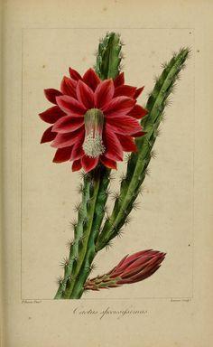 ) Barthlott [as Cactus speciosissimus Desf. Illustration Cactus, Botanical Illustration, Cactus Drawing, Cactus Art, Vintage Botanical Prints, Botanical Drawings, Botanical Flowers, Botanical Art, Art Floral