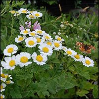 Certified Organic Medicinal Herbs for the Garden. Crimson Sage