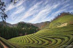 보성.대한다원_jeollado,korea  국내유일의 녹차관광농원
