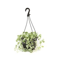 Find Dichondra Silver Falls - Dichondra repens at Bunnings Warehouse. Visit your local store for the widest range of garden products. Front Garden Landscape, Garden Landscaping, Silver Falls Dichondra, Ground Cover Plants, Plant Hanger, Basket, Green, Warehouse, Home Decor