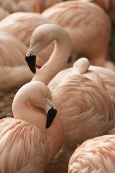 Downy Peach Flamingos