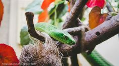 I spent a few minutes watching this awesome Green Mamba at Pretoria Zoo - he started off peeking at me from behind the branches in his enclosure before coming out and posing for me. Absolutely beautiful