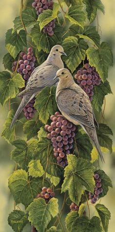 Vineyard Mourning Doves (Rosemary Millette)