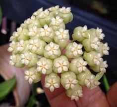 Hoya hellwigiana
