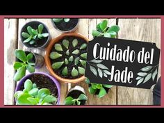 🌿 Reproducir árbol del JADE ( trasplantar jade ) - YouTube Youtube, Crassula Ovata, Interesting Facts, Exotic Flowers, Succulent Plants, Rosario, Youtubers, Youtube Movies