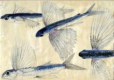 « Poissons volants », musée océanographique de Monaco (copyright : Michel Dagnino, musée océanographique de Monaco).