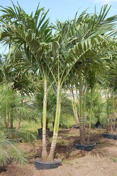 Adonidia Palm