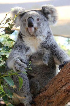 Cuteness overload... Mama & baby Koala... More photos here: http://www.zooborns.com/zooborns/2015/09/koala-joeys-emerge-for-spring-at-taronga-zoo.html