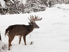 No 2019 buck tag. That could be life for the Buffalo County, Wisconsin, deer hunter this season. If the Buffalo County Deer Advisory Council gets its way, that is. Whitetail Deer Pictures, Big Deer, Deer Hunting Tips, Photo Craft, Royalty Free Images, The Past, Wildlife, Stock Photos, Wisconsin