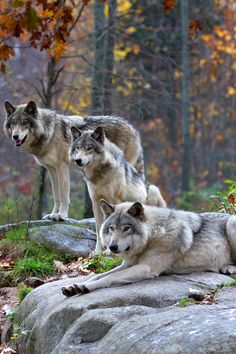 Timber Wolves  by Jim Cumming