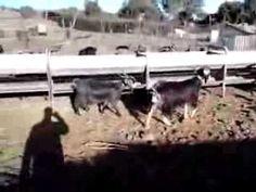 Las cabras de Ruigomez  #Goat #CanaryIsland #Tenerife