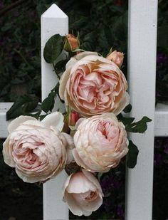 """Heritage"" David Austen rose"