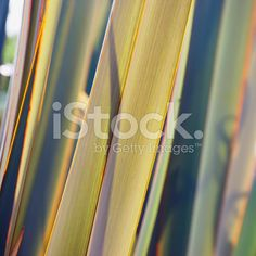 Sunlit Harakeke Leaves (NZ Flax) royalty-free stock photo