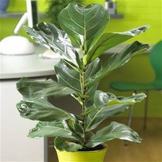 Ficus Lyrata - 1 plant Buy online order yours now £29.95