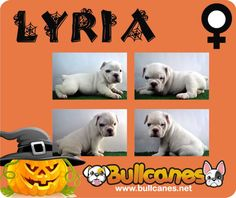 LYRIA - Miniature English Bulldog For Sale  BULLCANES - Bulldog Breeders  www.bullcanes.net