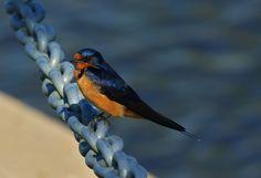 Barn Swallow photographed at Chambers Bay WA.