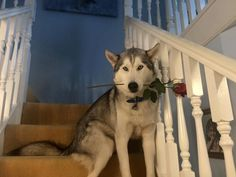 Happy Early Valentine's Day from one of Karen Pawpack's beautiful Siberian Huskies.