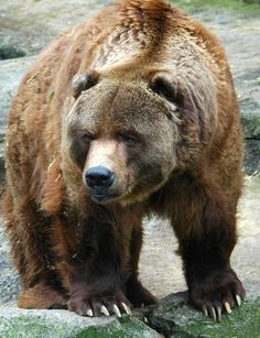 Oso Grizzly (Ursus arctos horribilis)