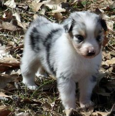 I also want him too Australian Shepard dogs are so cute