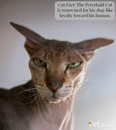 The Peterbald is a new hairless cat breed that originated in Russia in the early part of the 1990s.