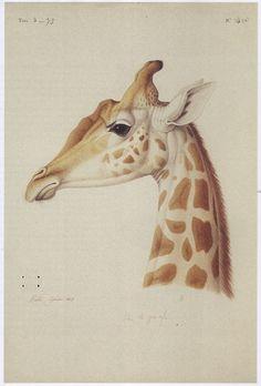 JJ Aubuden - Tête de Girafe - 1827