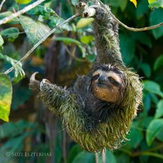 Suzi Eszterhas Wildlife Photography - Brown-throated three-toed sloth covered in algae, Costa Rica. Sloth hairs have specialized cracks and grooves running along their length to encourage the growth of algae and fungi, some species of which are active against certain strains of bacteria, cancer and parasites. This image and more amazing sloth info appear in my new book, Sloths: Life in the Slow Lane, with Dr. Rebecca Cliffe.